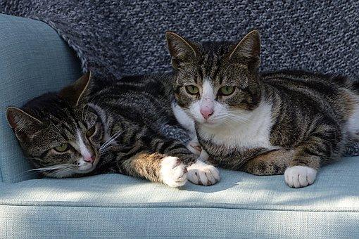Animal, Pet, Cat, Felis Catus, Grey White, Lying, Young