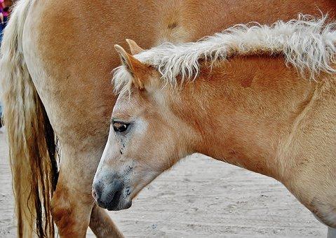 Horse, Foal, Haflinger, Animal, Mammal, Mane, Nature