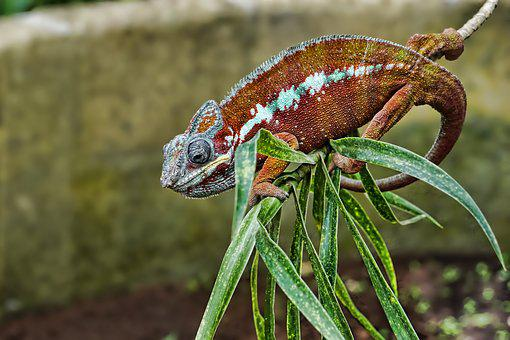Nature, Animal, Animal World, Reptile, Chameleon