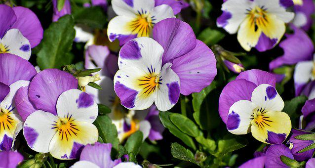 Pansy, Flower, Spring, Close, Blossom, Bloom, Nature