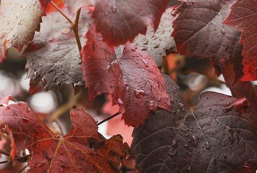 Leaf, Fall, Season, Nature, Outdoors, Vine, Autumn
