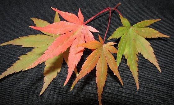 Leaf, Fall, Maple, Nature, Flora