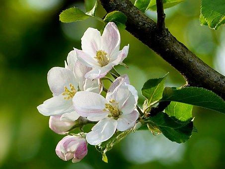 Nature, Tree, Apple Tree, Malus, Apple Blossom
