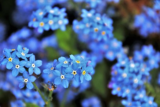 Blue, Nots, Flower, Spring, May, Nature, Plant, Garden