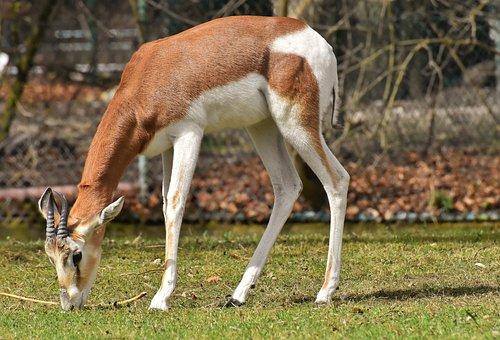 Gazelles, Wild Animals, Pair, African Animal