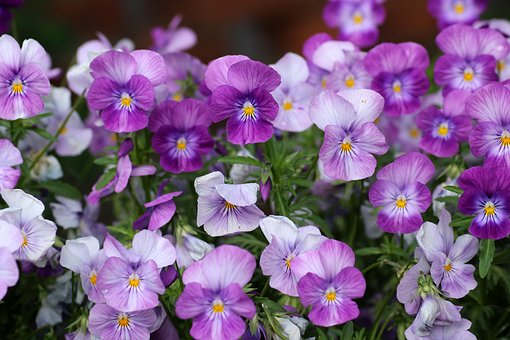Pansies, Flower, Nature, Plant, Blooming, Pansy, Violet