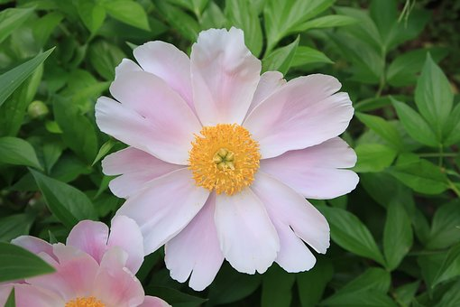 Plant, Natural, Flowers, Garden, Leaf, Summer, Peony
