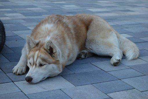 Dog, Husky, Mammal, Animal, Pet, Puppy, Portrait, Young