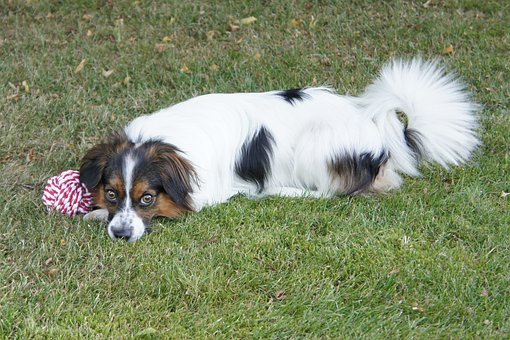 Dog, Expensive, Cute Dog, Papillon, Pets