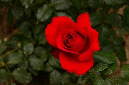 Flower, Plant, Leaf, Rose, Nature, Petal, Close-up