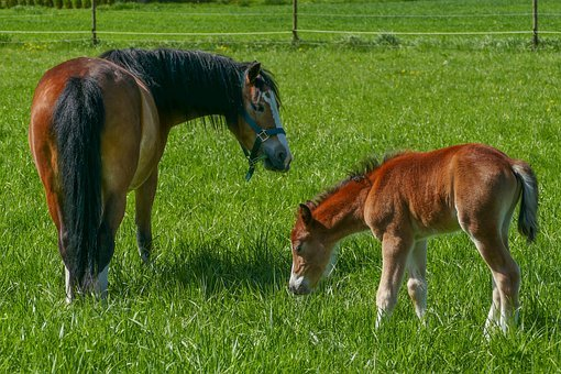 Mare Stallion Foal, Pony Foal, Ponystue, Brown