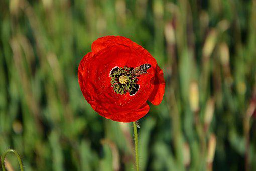 Nature, Plant, Poppy, Bee, Flower, Summer, Live, Color