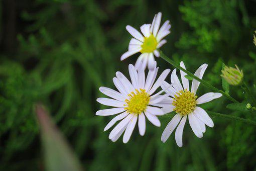 Aster, Purple, Flower, Natural, Plant, Romantic, Fresh