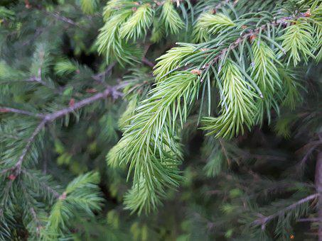 Tree, Nature, Needle, Pine, Branch, Evergreen, Spruce