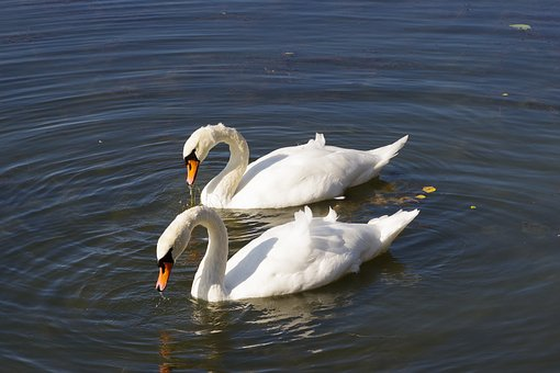 The Birds, Water Bodies, Lake, Nature, Swans