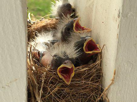 Animal, Bird, Wildlife, Nest, Family, Babies, Hungry