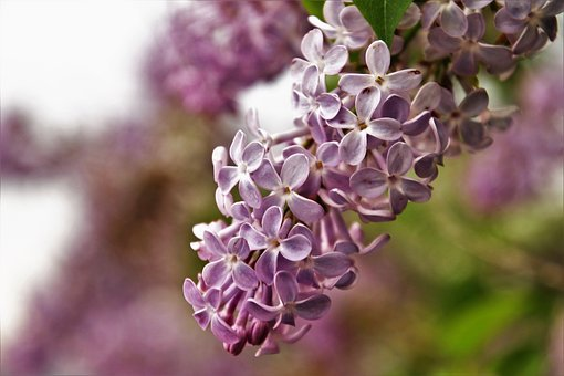 Without, Lilac, Flower, Nature, Spring, May, Plant