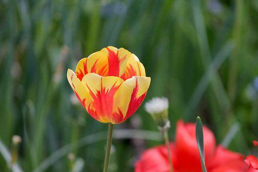 Tulip, Half Closed, Blossom, Bloom, Orange, Yellow
