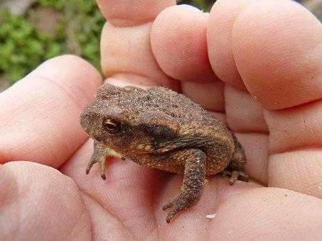 Toad, Sapito, Batrachian, Hand, Tiny, Nature, Small