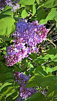 Lilac, Tree, Bush, Flowering Twig