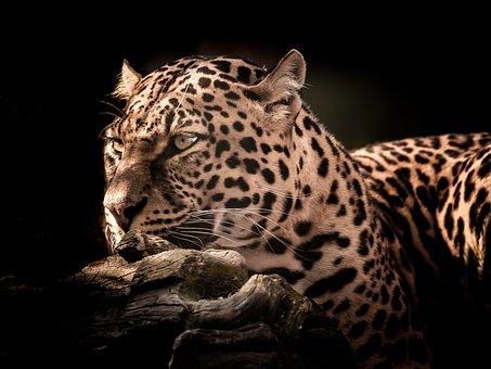 Cat, Wildlife, Leopard, Mammal, Nature, Eye, Portrait