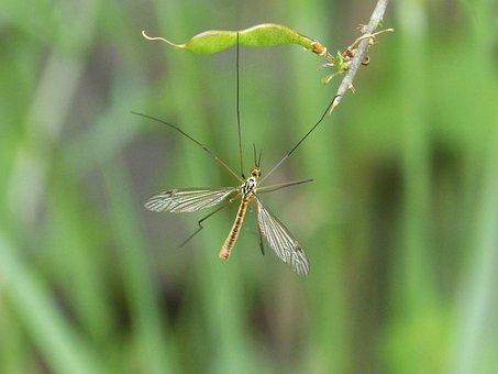 Típula, Fake Mosquito, Tipulidae, Insect, Tiny, Nature