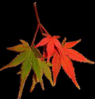 Leaves, Autumn, Fall, Maple, Tree, Nature