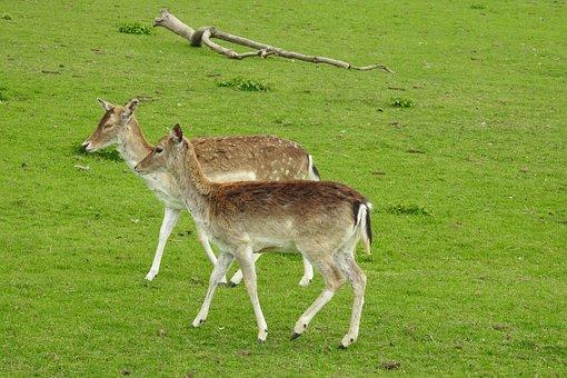 Lawn, Animals, Mammals, Nature, Cervidae, Fallow