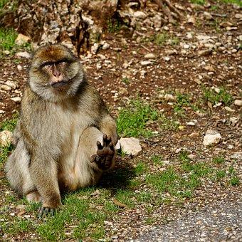Mammal, Fauna, Monkey, Primate, Nature, Magot
