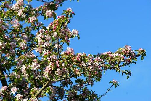 Tree, Flower, Branch, Plant, Season, Apple Tree