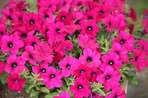 Petunias, Flowerpots, Spring, Flower, Plant, Nature