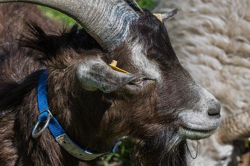 Animal, Mammal, Nature, Animal World, Goat, Portrait