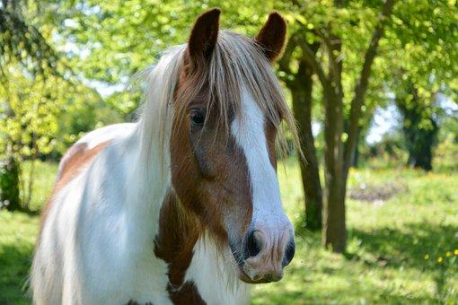 Horse, Standard, Horse Irish Cob, Horseback Riding