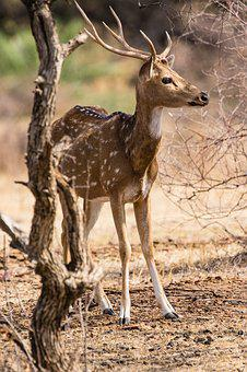 India, Ranthambore, Nature Reserve, Axis Deer, Hirsch