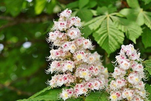 Chestnut Blossom, Chestnut, Inflorescence, Buckeye