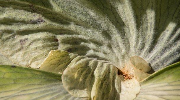 Staghorn Fern, Platycerium Superbum, Fern, Green, Large