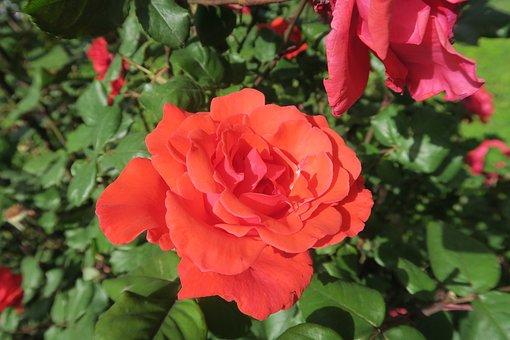 Orange Roses, Flower, Plant, Nature, Leaves