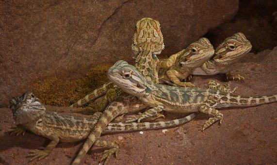 Reptile, Lizard, Nature, Animal, Animal World, Desert