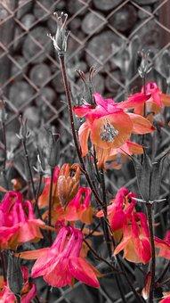Columbine, Aquilegia, Magic Flower, Nature, Plant