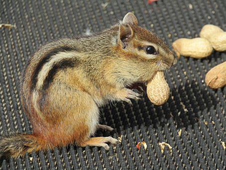 Mammal, Rodent, Chipmunk, Cute, Wildlife, Animal, Small