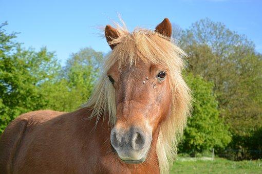 Shetland Pony, Small Horse, Pony Sorrel, Mane Washed