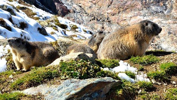 Marmots, Nature, Snow