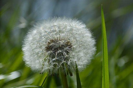 Dandelion, Nature, Plant, Flower, Close Up, Summer