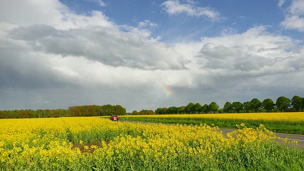 Field, Field Of Rapeseeds, Yellow, Agriculture, Nature
