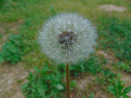 Dandelion, Nature, Plant, Lawn, Summer, Flower