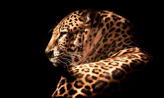 Wildlife, Nature, Leopard, Animal, Wild, Predator