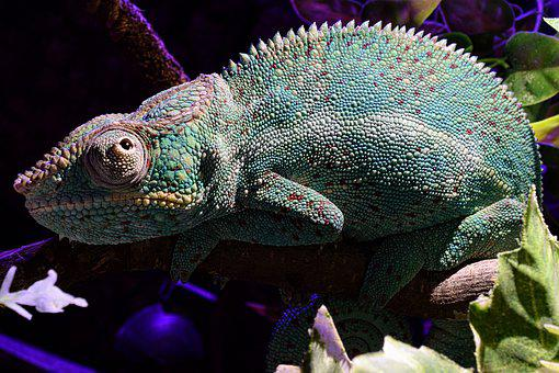 Panther Chameleon, Chameleon, Tired, Head, Close