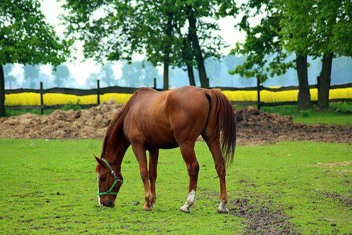 The Horse, Stud, Lawn, Field, Pasture Land, Animals