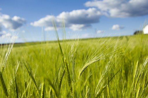 Field, Cereal, Pastures, Farm, Harvest, Rural Area