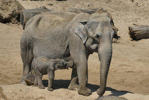 Elephant With Boy, Zoo, Planckendael, Belgium, Drinking